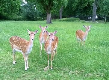 Clissold Park Deer